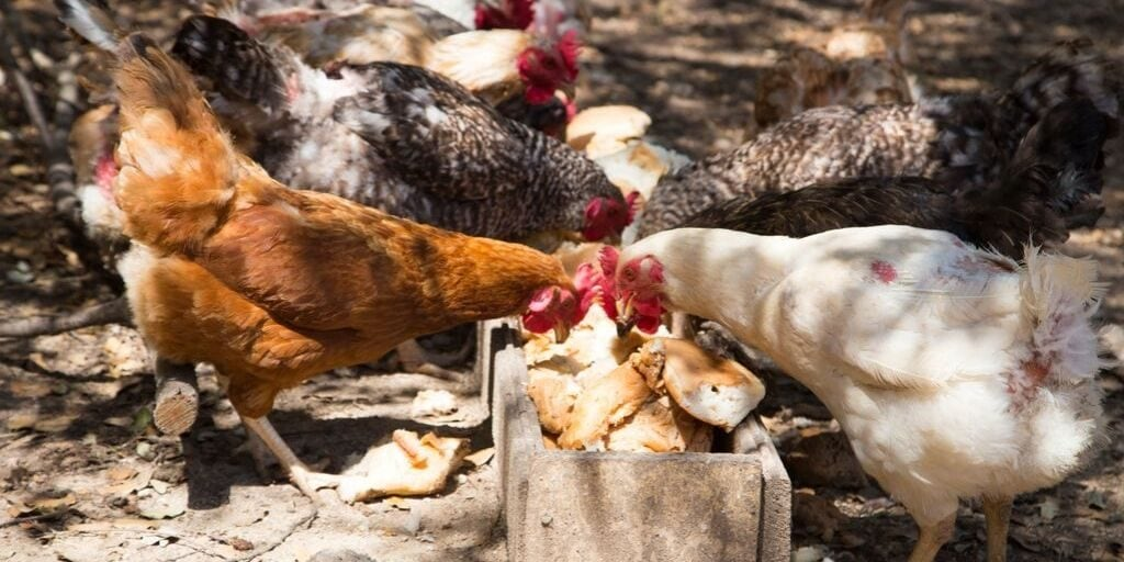Feeding Your Chickens Bread Nutrition Concerns Recipes The Hip Chick