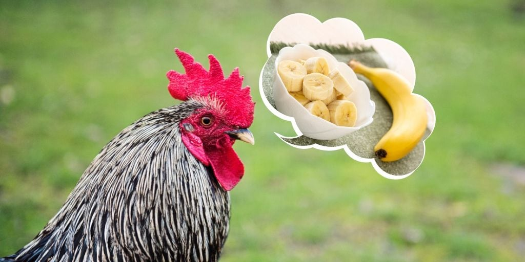 Can Chickens Eat Banana The Hip Chick