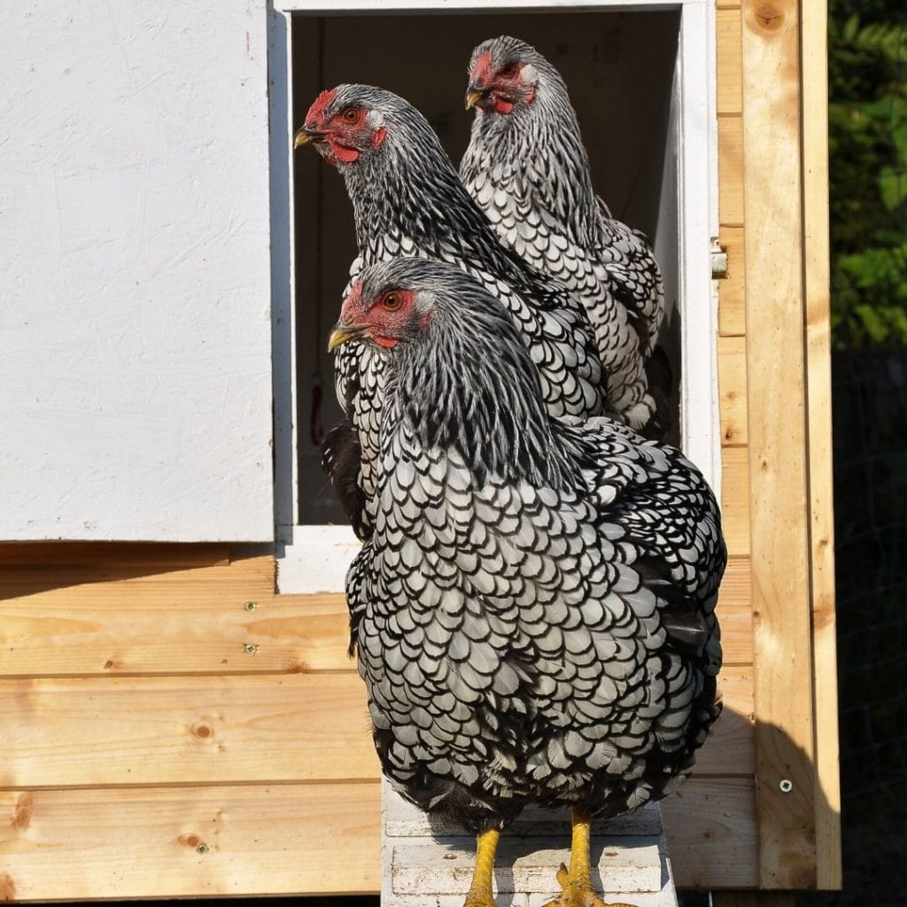 silver laced wyandotte hens