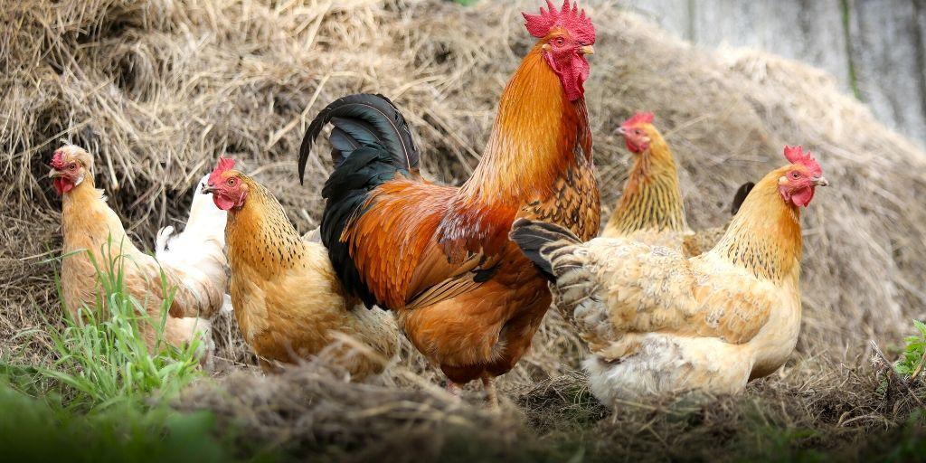 chicken farm names