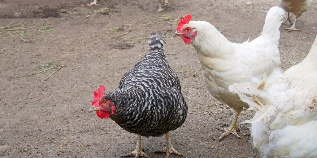 white rock and barred rock chickens
