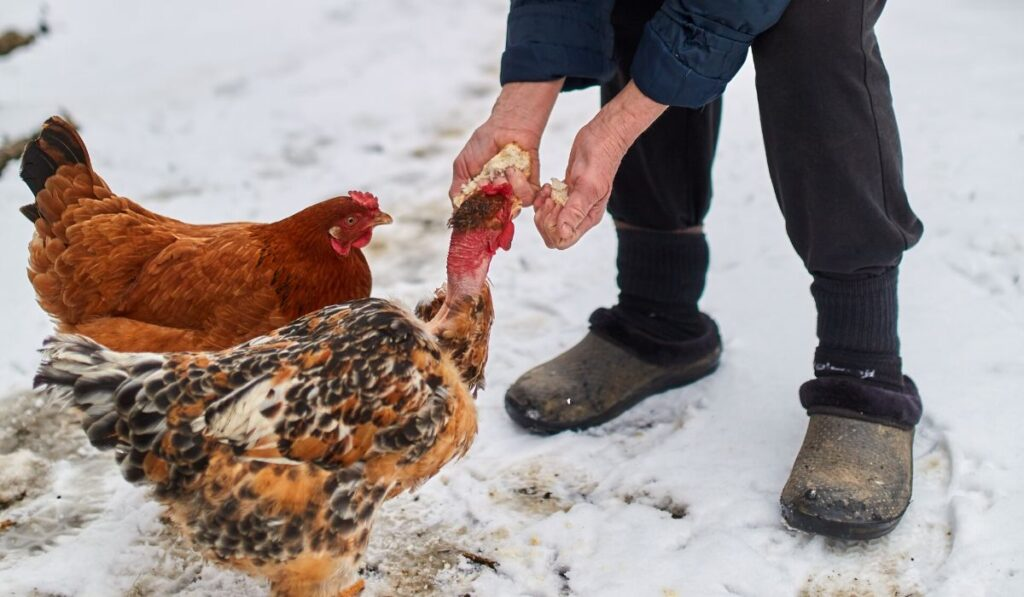 chickens eating treats in the snow