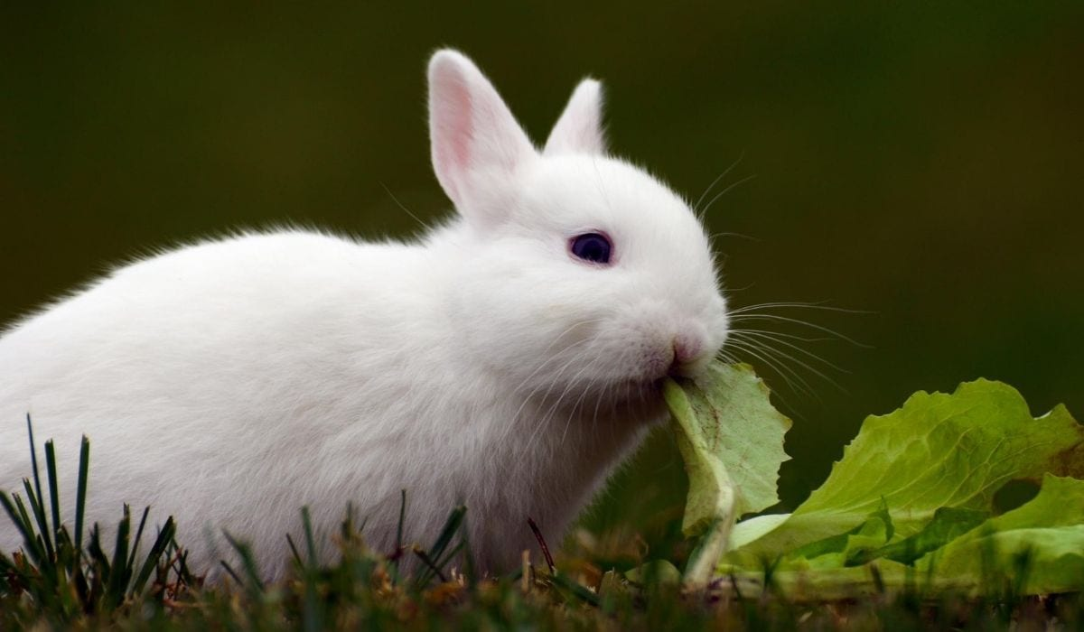 baby white rabbit eating cabbage