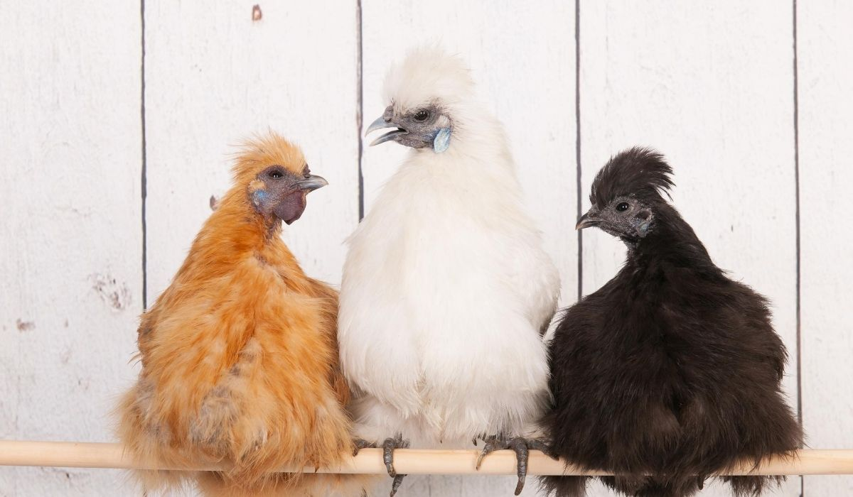 three showgirl silkie chicken with different colors