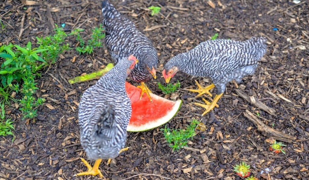 Chicken eating watermelon