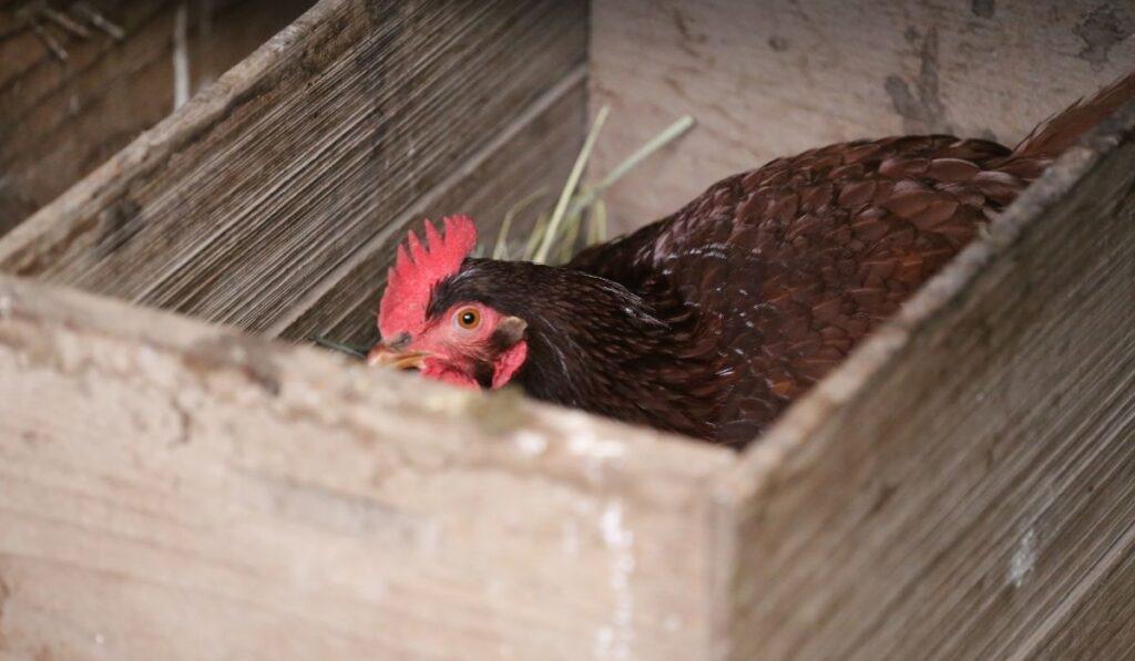 Laying Hems Nest Box