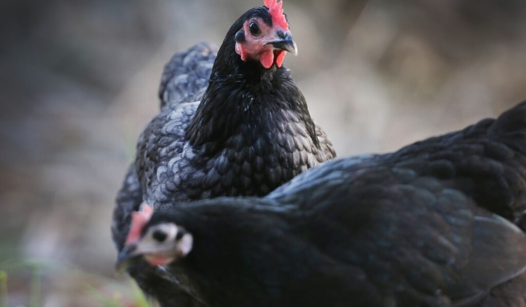 Two Black Australorp Chicken