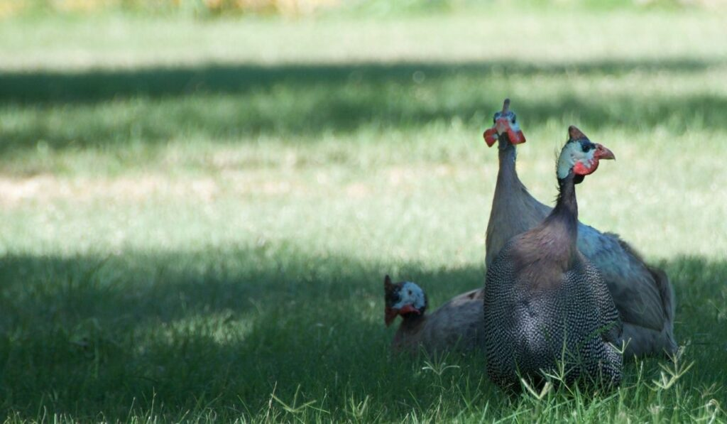 Guinea Fowl on Grass