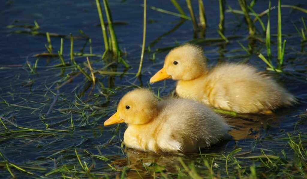 Two Cute Duckling
