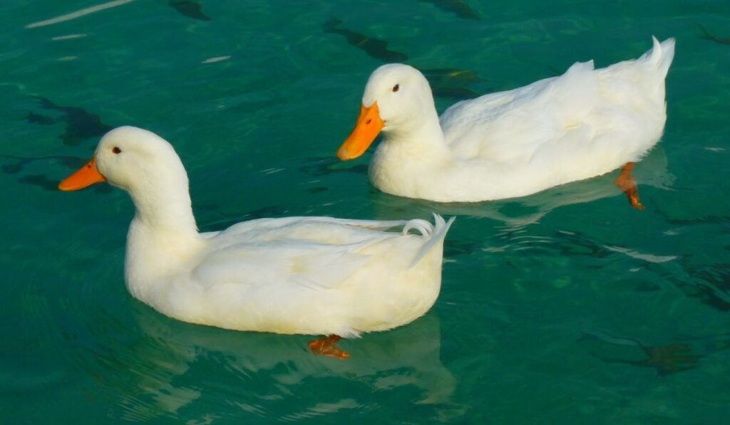 Two White Ducks
