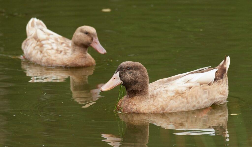 Two Yellow Duck Swimming