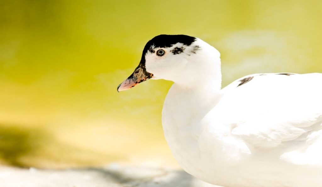White Ducks with Black Spots