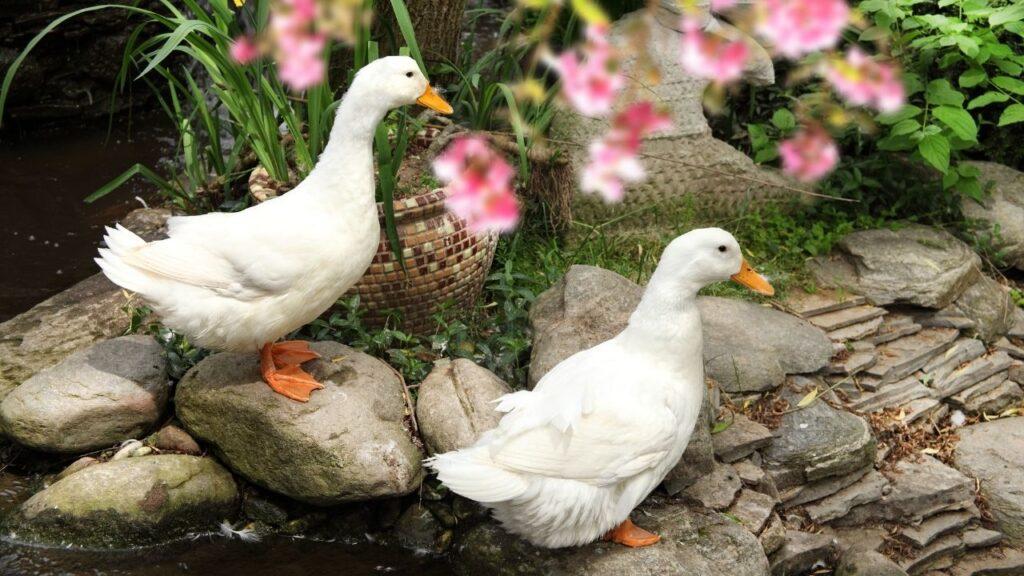 white ducks in a garden
