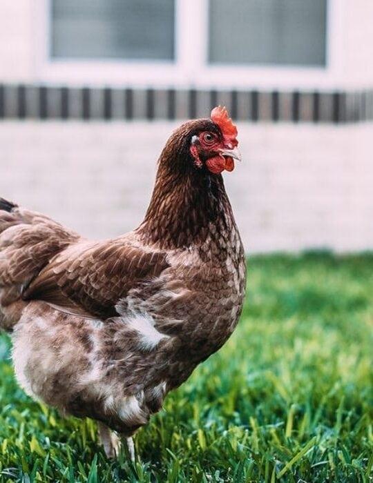 chicken on the ground
