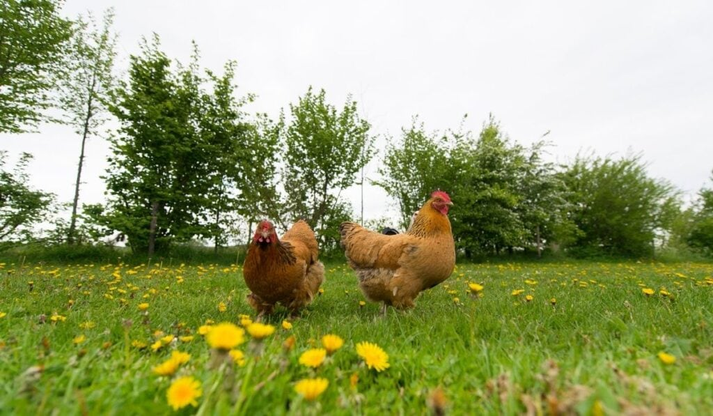 chickens walking outdoor in grass field