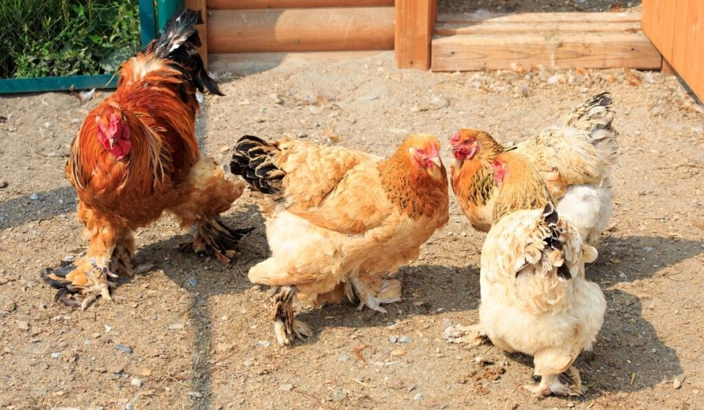 Cochin Chickens in the coop