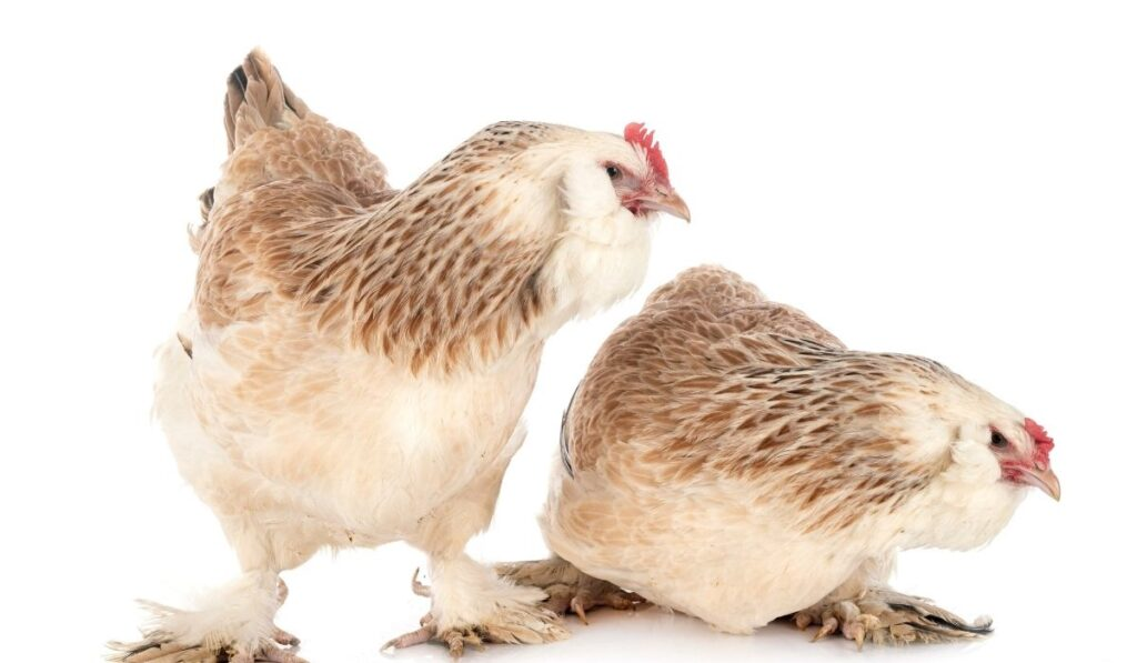 Faverolle Chickens on a white background