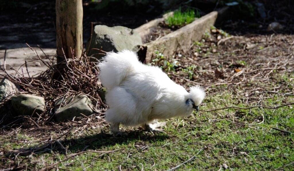 Silkies chicken walking in the coop