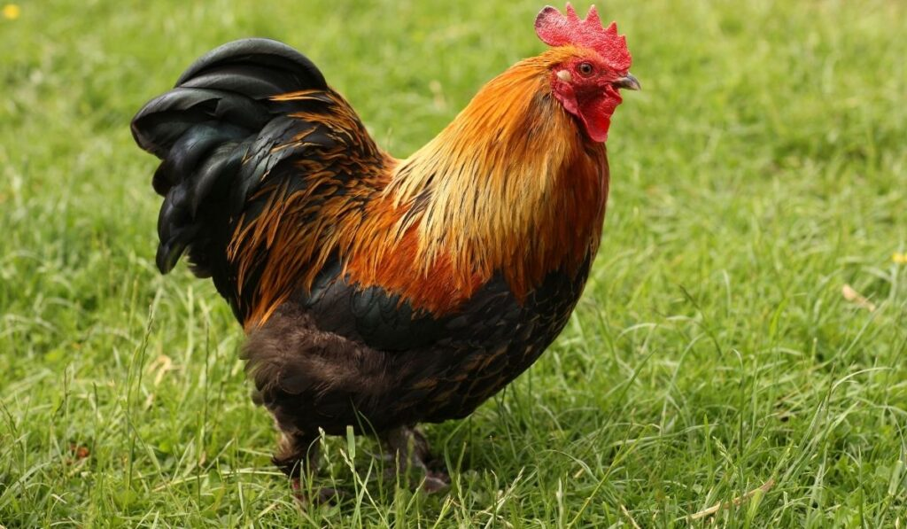 bantam chicken in the garden