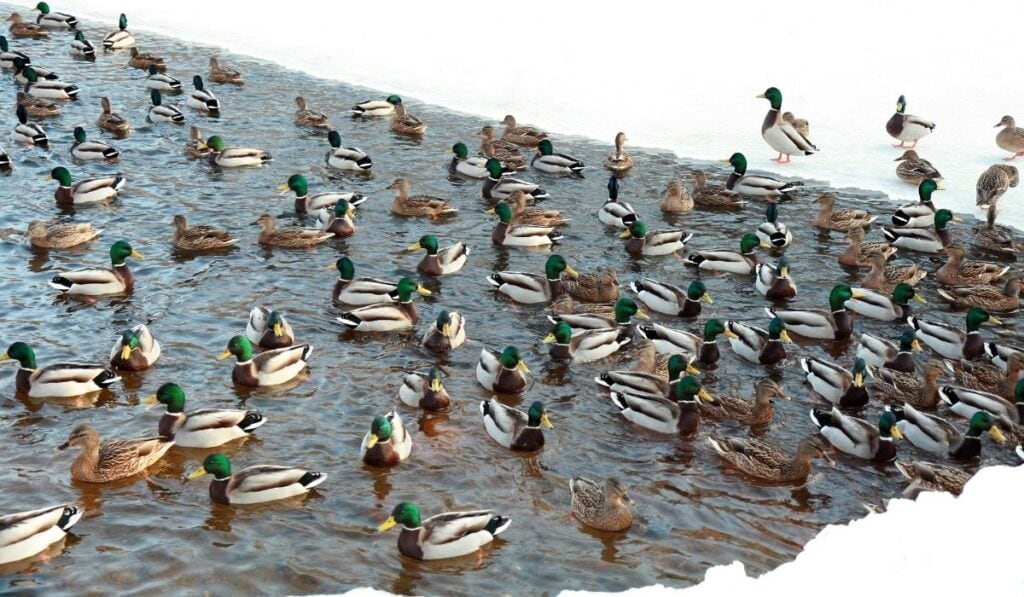 ducks in cold water
