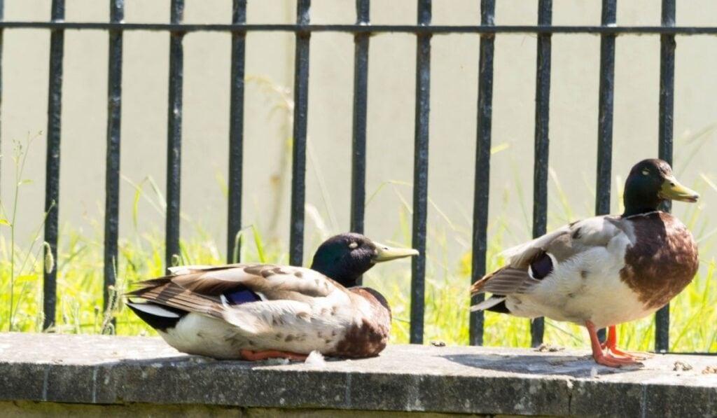 ducks warming up in the sunshine