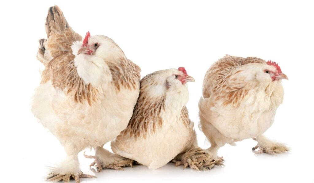three faverolle chickens in a white background