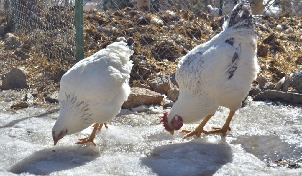 two Delaware chickens pecking on ice