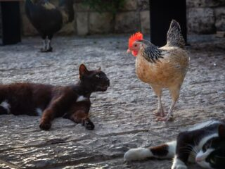 black cat wanting to attack the chicken