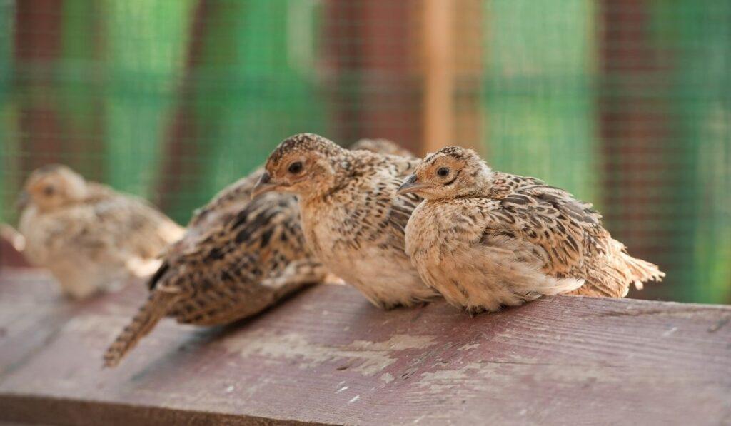 Baby Pheasants