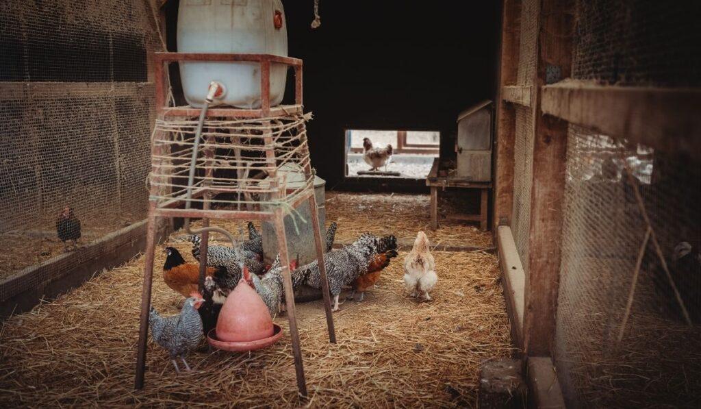 Duck and Chicken Coop