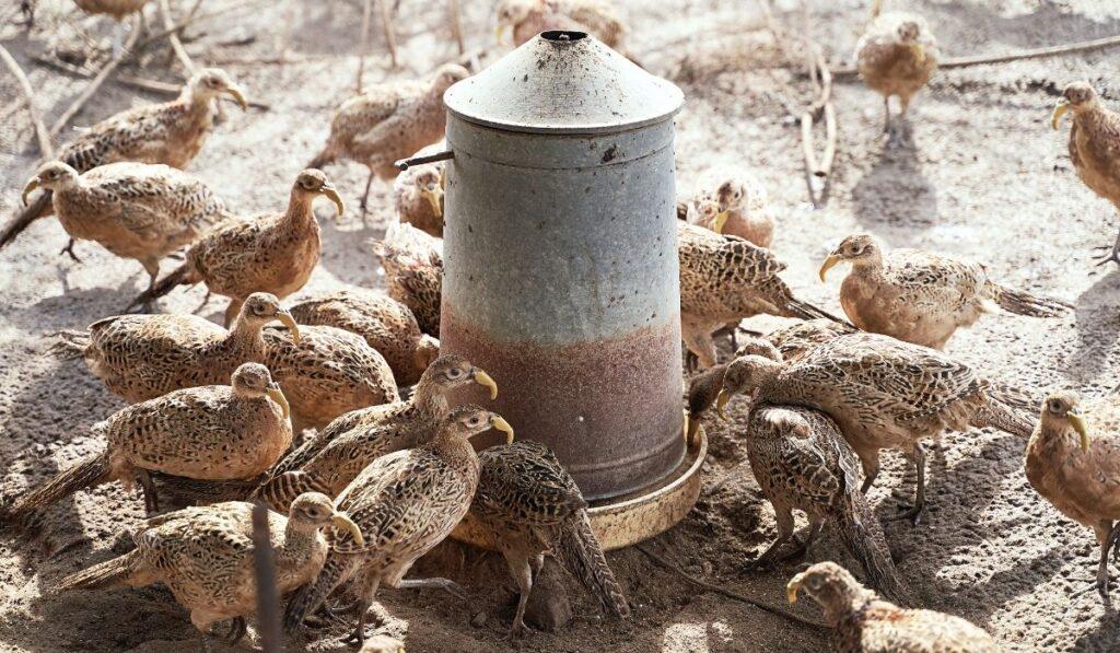 Pheasants Eating Feeds