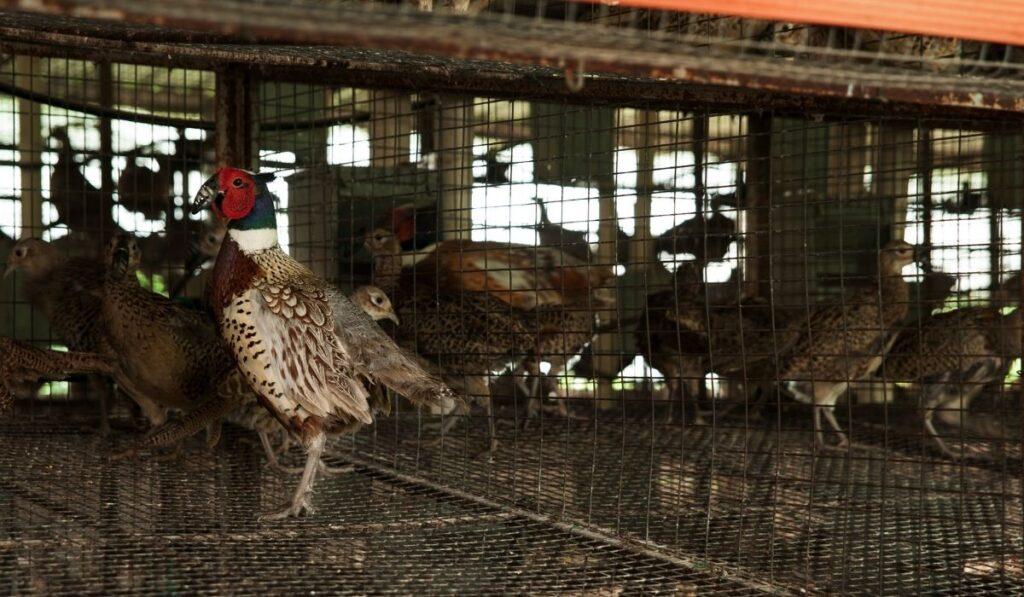Pheasant inside pen