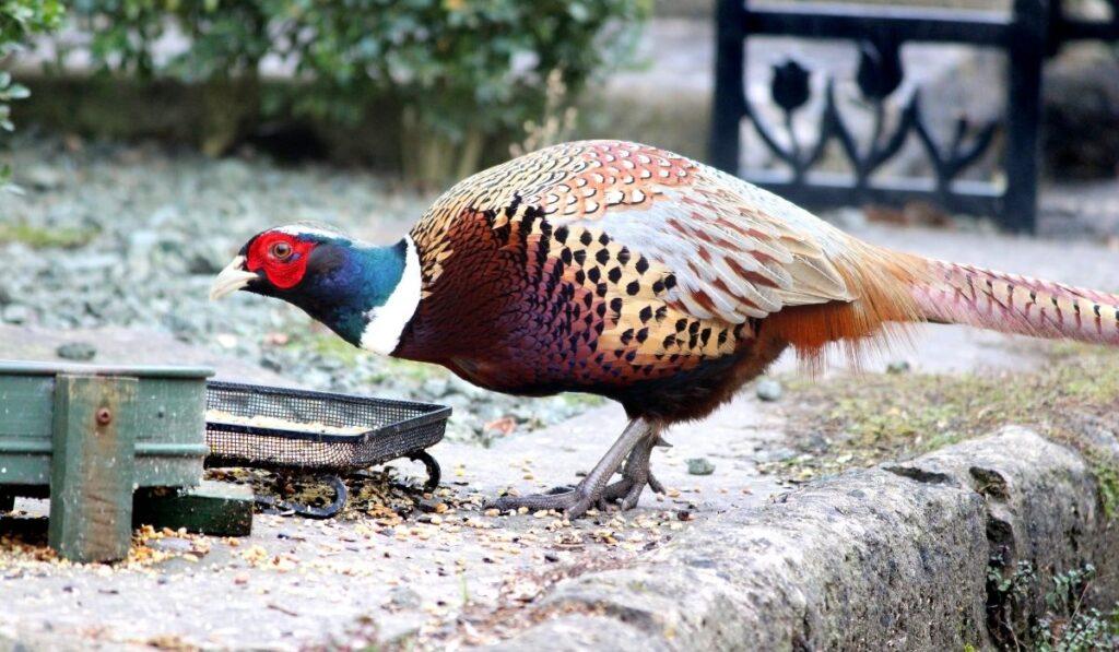 Pheasants Eating