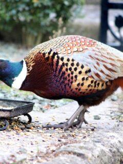Pheasants-Eating-1