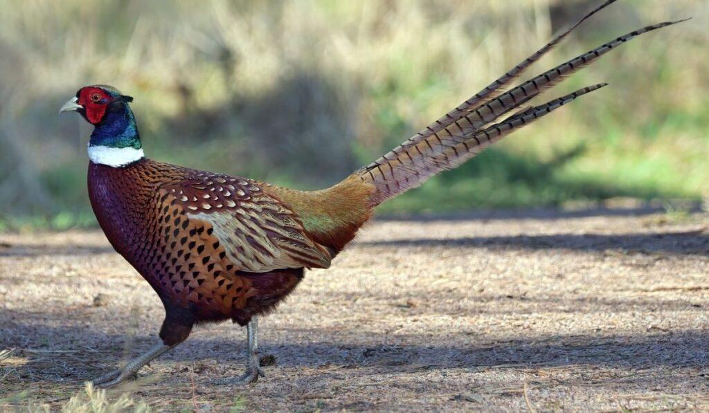 Pheasants Walking