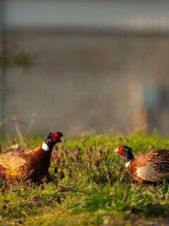 Pheasants birds on the ground