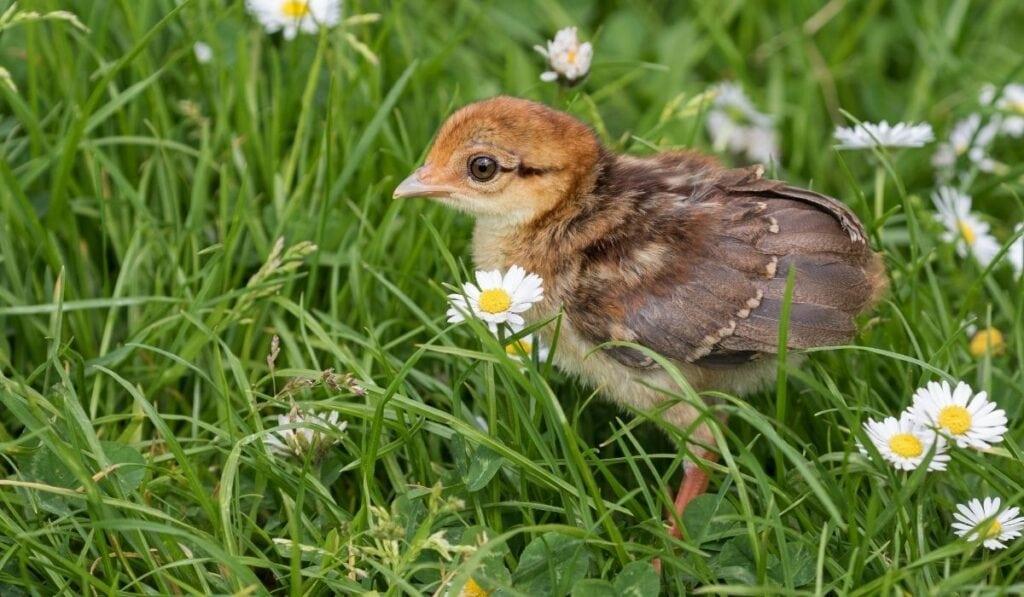 Pheasants hatchling
