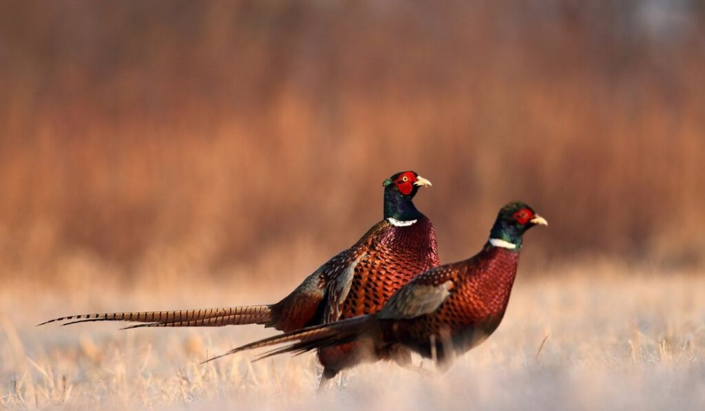 Two Pheasant in the Field