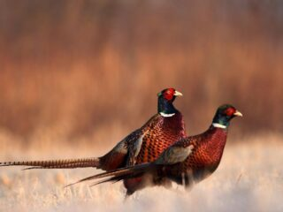Two-Pheasant-in-the-Field