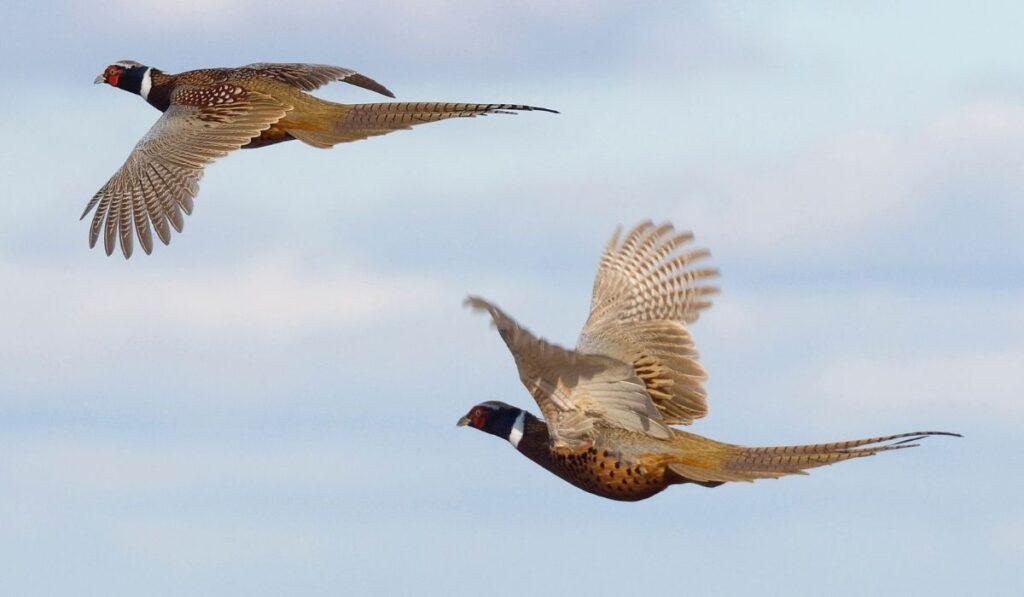 Two Pheasants Flying
