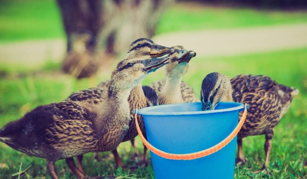 baby ducks drink their water in a blue pail