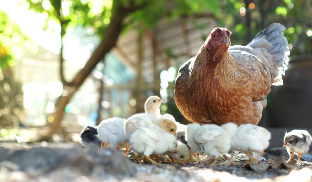 brown hen with white colored chicks and trees in the background
