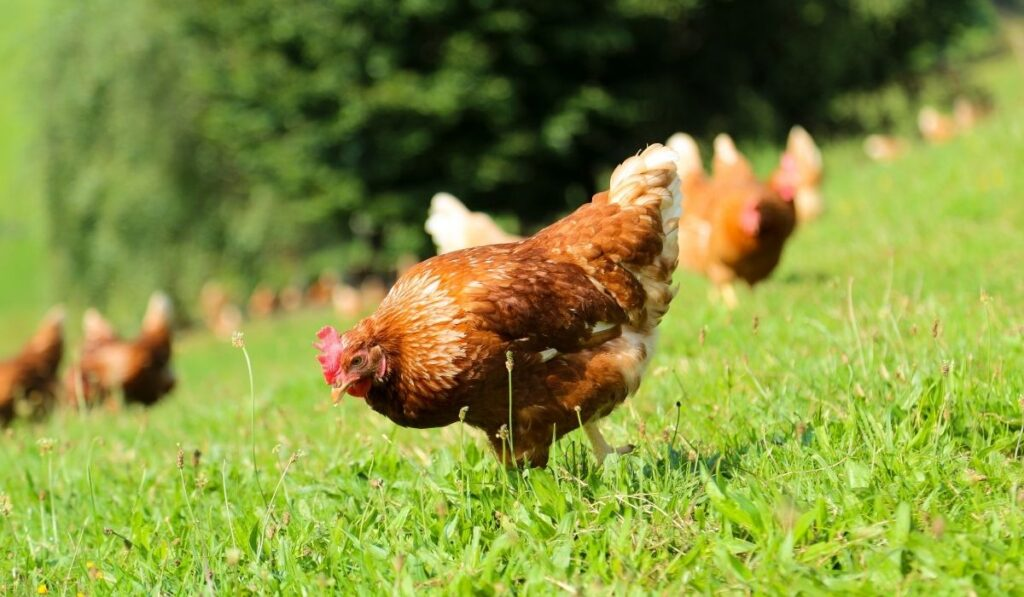 chicken eating grass in the field
