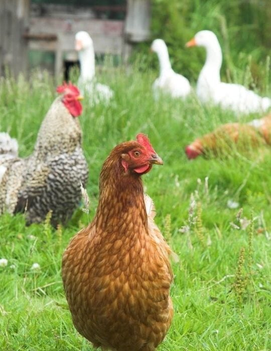 chickens and geese roaming around in the garden