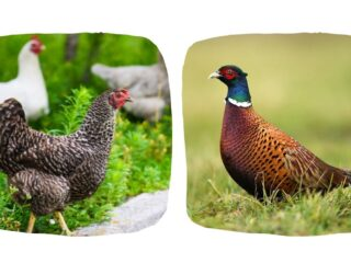 chickens and pheasant