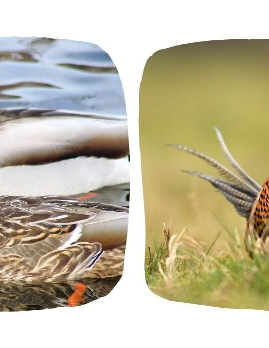 collage of ducks and pheasants photo