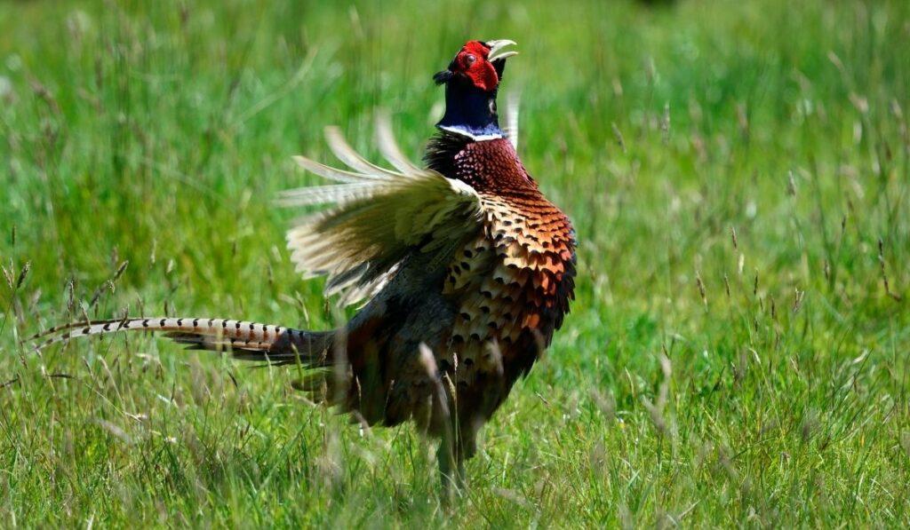crowing pheasants