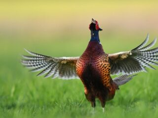 pheasants flapping wings