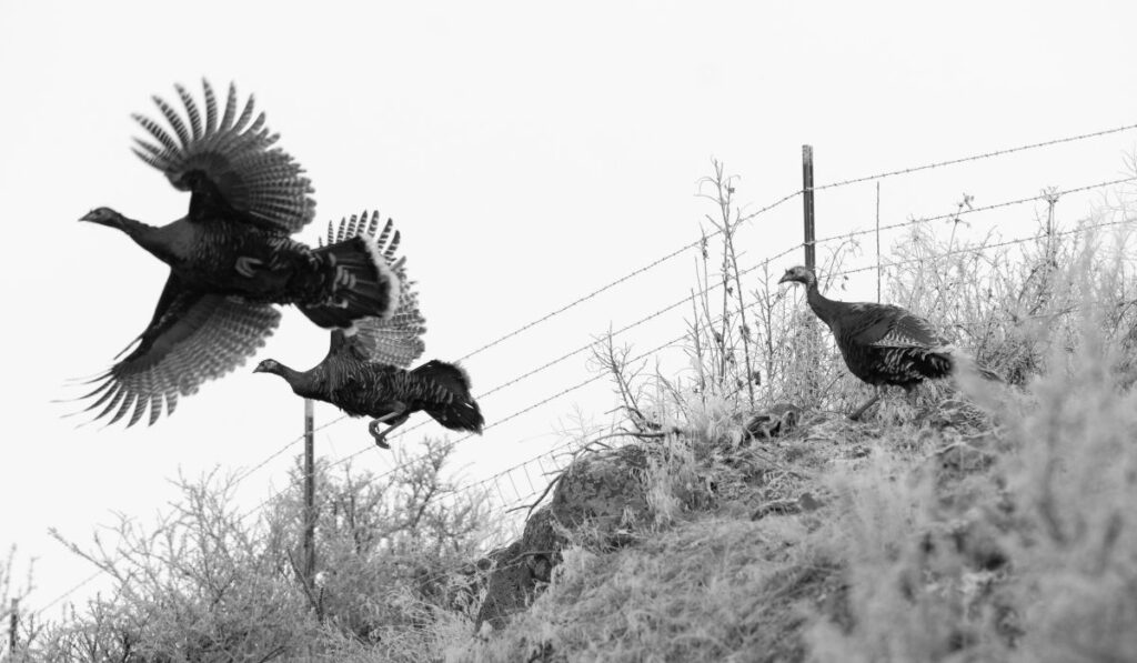 pheasants flying, escaping