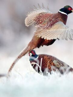 pheasants in the winter